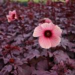 Hibiscus_aceto_FA
