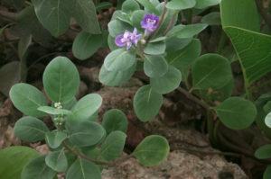 Pohinahina_BeachVitex_VitexRotundifolia2
