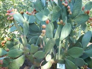pricklypear edible landscaping