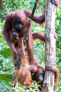 A busy day on the trunk; orangutans in Tanjung Puting National Park, Borneo