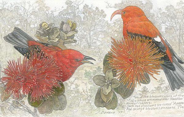 Apapane and Iiwi Lehua by John Dawson